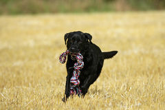Black Labrador action Royalty Free Stock Photo
