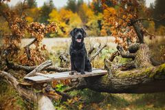 Black labrador autumn in nature, vintage Royalty Free Stock Photo