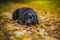 Black labrador autumn in nature, vintage stock images