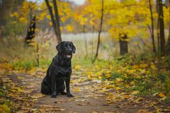 Black labrador autumn in nature, vintage stock photography