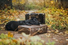 Black labrador autumn in nature, vintage Royalty Free Stock Image