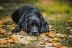 Black labrador autumn in nature, vintage royalty free stock photography
