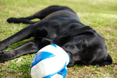 Black Labrador with Ball. A tired black labrador outside on the grass with a ball Royalty Free Stock Image