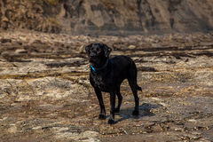 Black labrador. On the beech Royalty Free Stock Images