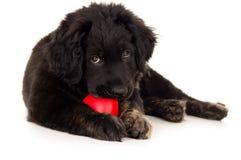Black labrador biting toy Royalty Free Stock Photo
