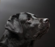 Black labrador on black background. Stock Photo