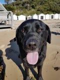 Black Labrador. Family pet on beach Sorrento Victoria Australia stock photo