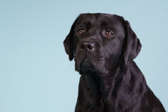 Black labrador on blue background. Portrait of a black labrador with a blue background Royalty Free Stock Photos
