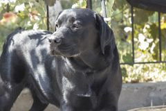 Black Labrador - a brave, faithful and intelligent dog. Dog Show Royalty Free Stock Image