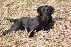 Black labrador - brown eyes. Contented black labrador lying on the dry grass Royalty Free Stock Photo