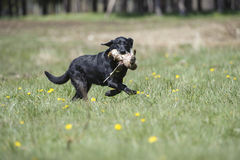 Black Labrador carrying duck Stock Images