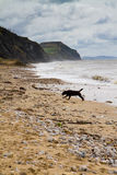 Black labrador on Charmouth beach in Dorset. It is located the mouth of the River Char overlooking Lyme Bay.  It is on the South West coastal path Stock Images
