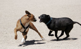 Black Labrador chasing a boxer. A black Labrador retriever mix chasing after a boxer at the park and playing. Looks scary, only play and friendly royalty free stock photo