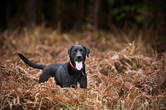 Black Labrador in Countryside Royalty Free Stock Photo