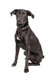 Black Labrador Cross Sitting Royalty Free Stock Image