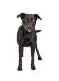 Black Labrador Cross Standing Royalty Free Stock Photos
