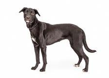 Black Labrador Crossbreed Dog Profile Stock Photos