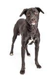 Black Labrador Crossbreed Dog Standing Stock Photos