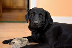 Black Labrador with a cuddly toy. Low angle portrait of a cute black Labrador with a cuddly toy.Photo taken indoors Royalty Free Stock Images