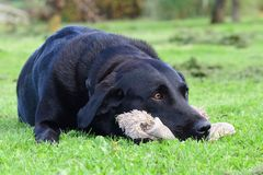 Black Labrador with a cuddly toy. Low angle portrait of a cute black Labrador resting it`s head on a cuddly toy.Photo taken in a grassy field Royalty Free Stock Photos