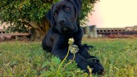 Black Labrador with Dandelions stock image