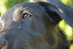 Black labrador detail. Detail of the young black labrador Stock Photos