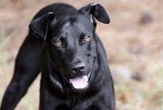 Black Labrador Doberman mixed breed dog. Happy dog, male Black Labrador Doberman mixed breed dog panting tongue. Humane Society animal shelter adoption royalty free stock images