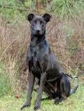 Black Labrador Doberman mixed breed dog Royalty Free Stock Photo