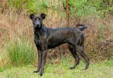 Black Labrador Doberman mixed breed dog Royalty Free Stock Image