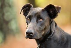 Black Labrador Doberman mixed breed dog Stock Photo
