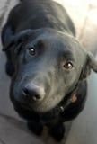 Black Labrador dog Stock Image