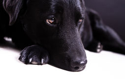 Black labrador dog. Portrait of black labrador dog lying on white background with copy space Stock Image