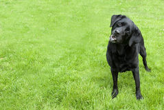 Black Labrador Dog. Black Labrador standing on the bright green grass Stock Images