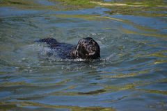 Black labrador dog with brown eyes swimming Royalty Free Stock Photo