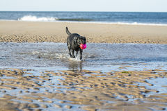 Black Labrador dog fetching ball from the sea. Black Labrador dog fetching a ball on the beach, with copy space Stock Photography