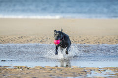 Black Labrador dog fetching ball from the sea. Black Labrador dog fetching a ball on the beach, running towards camera with copy space Stock Images