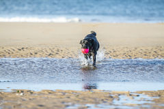 Black Labrador dog fetching ball from the sea. Black Labrador dog fetching a ball on the beach, running towards camera with copy space Royalty Free Stock Photo