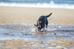 Black Labrador dog fetching ball from the sea. Black Labrador dog Fetching a ball from the sea making big splashes Royalty Free Stock Images