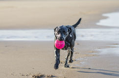 Black Labrador dog fetching ball from the sea. Wet black labrador running from the sea carrying a ball Royalty Free Stock Images