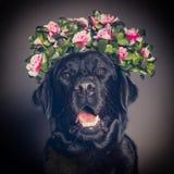 Black Labrador dog in a flower crown. Soft filter Stock Photos
