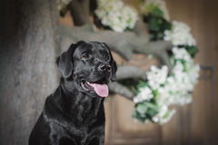 Black labrador dog with flower Stock Photos