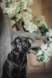 Black labrador dog with flower. Cute dog with a flower, dog breed labrador retriever black stock photography