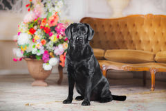 Black labrador dog with flower. Cute dog with a flower, dog breed labrador retriever black royalty free stock photo