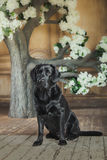 Black labrador dog with flower. Cute dog with a flower, dog breed labrador retriever black royalty free stock images