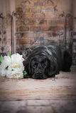 Black labrador dog with flower. Cute dog with a flower, dog breed labrador retriever black royalty free stock photos