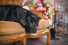 Black labrador dog with flower. Cute dog with a flower, dog breed labrador retriever black royalty free stock image