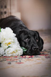 Black labrador dog with flower. Cute dog with a flower, dog breed labrador retriever black stock photo