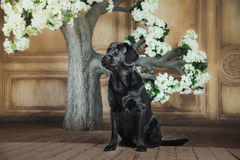 Black labrador dog with flower. Cute dog with a flower, dog breed labrador retriever black stock photos