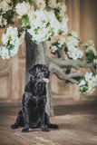 Black labrador dog with flower. Cute dog with a flower, dog breed labrador retriever black stock image