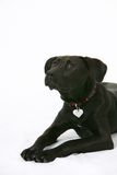 Black labrador dog isolated Royalty Free Stock Image
